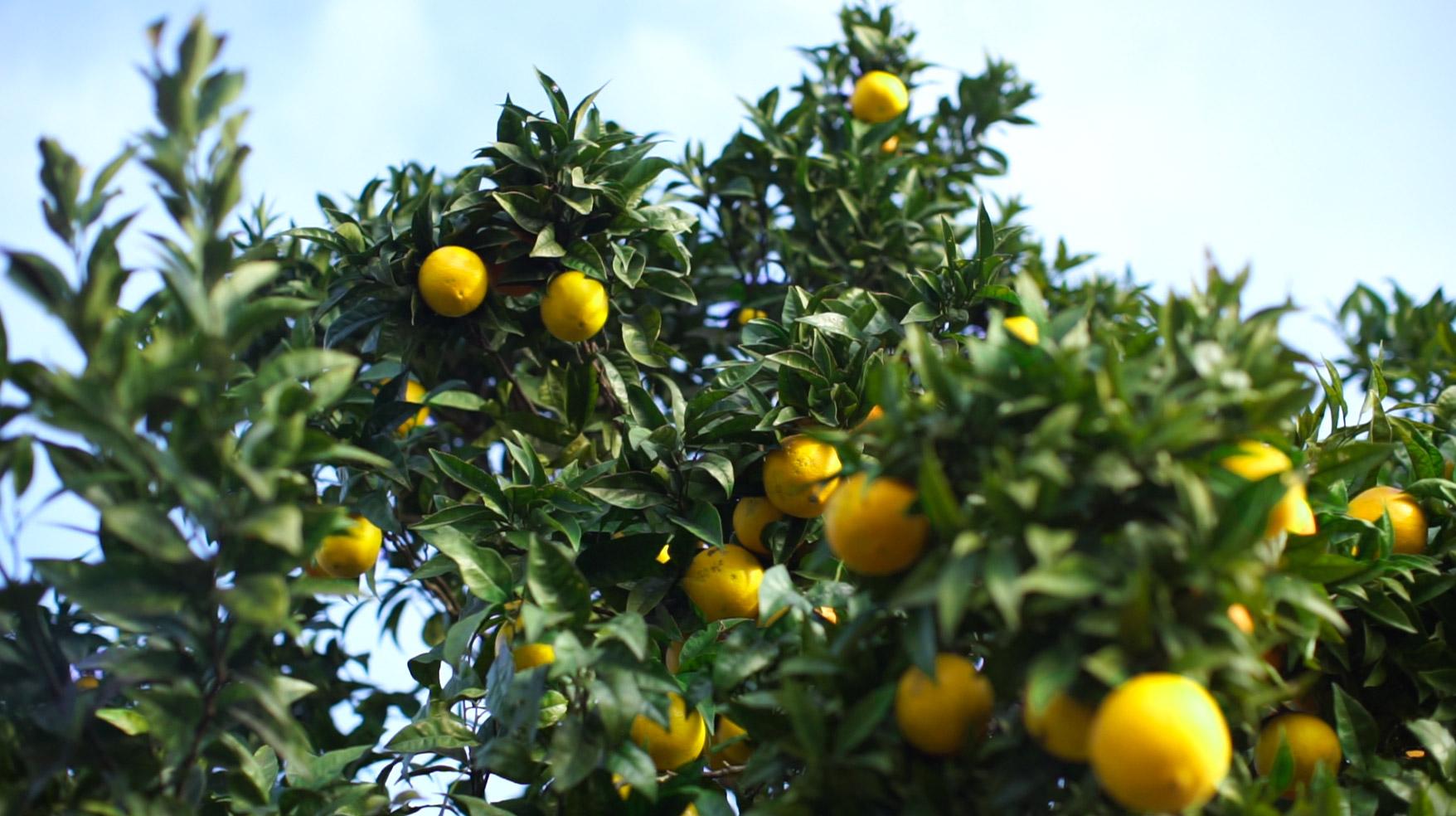 citrons_PDF